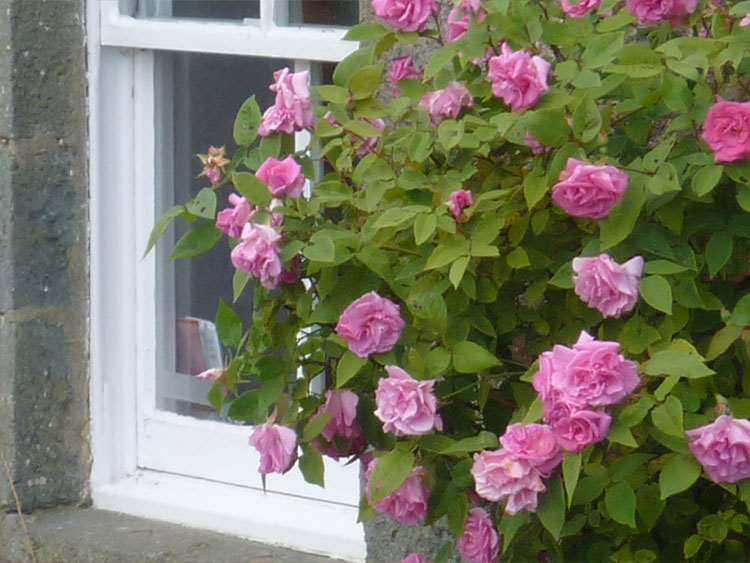 Roses in bloom outside Hill Cottage